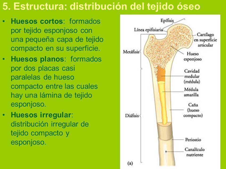 5. Estructura: distribución del tejido óseo Huesos cortos: formados por tejido esponjoso con una pequeña capa de tejido compacto en su superficie. Hue