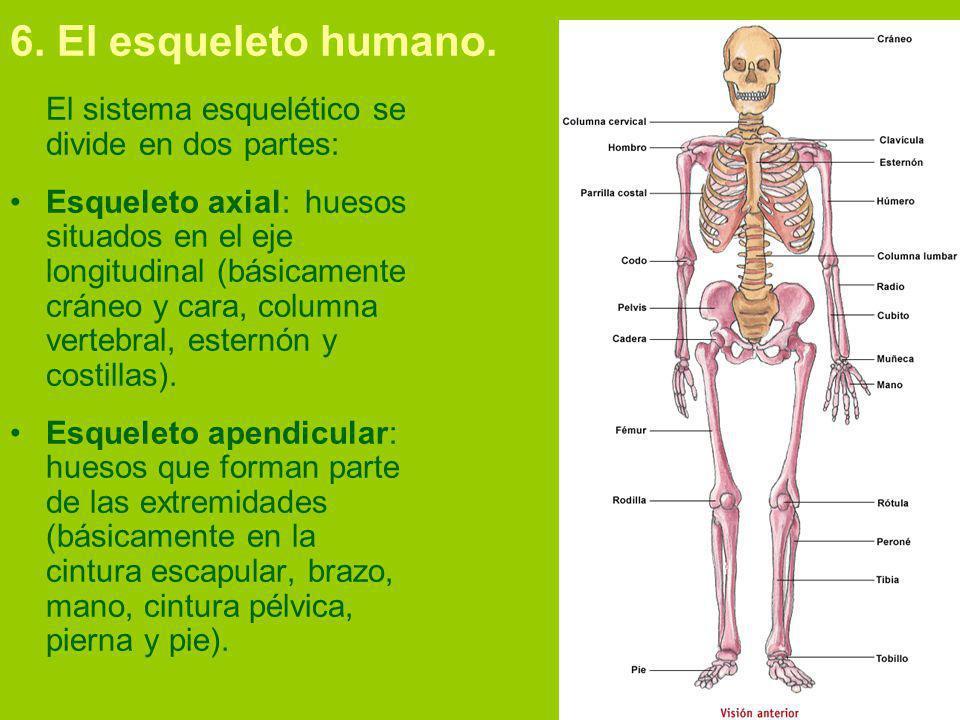 6.El esqueleto humano.