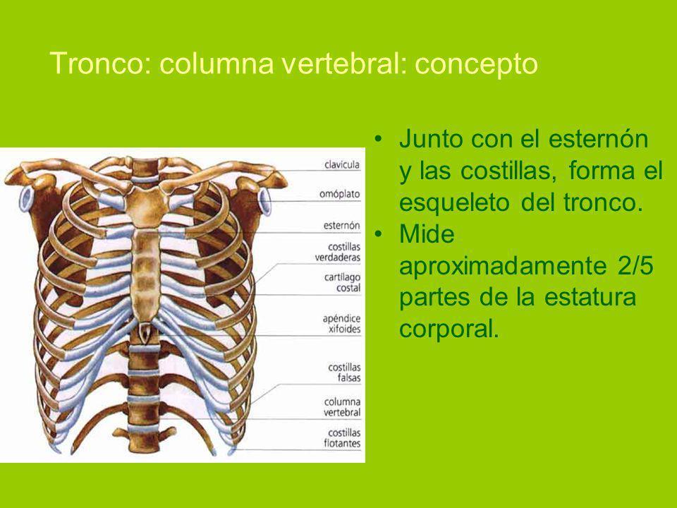 Tronco: columna vertebral: concepto Junto con el esternón y las costillas, forma el esqueleto del tronco.