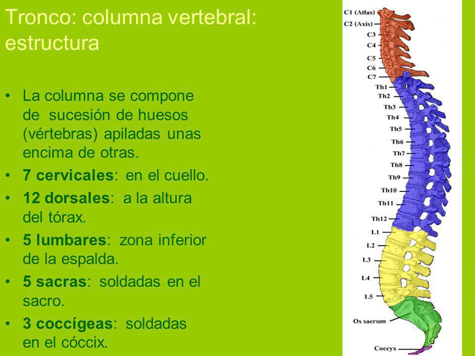Tronco: columna vertebral: estructura La columna se compone de sucesión de huesos (vértebras) apiladas unas encima de otras.