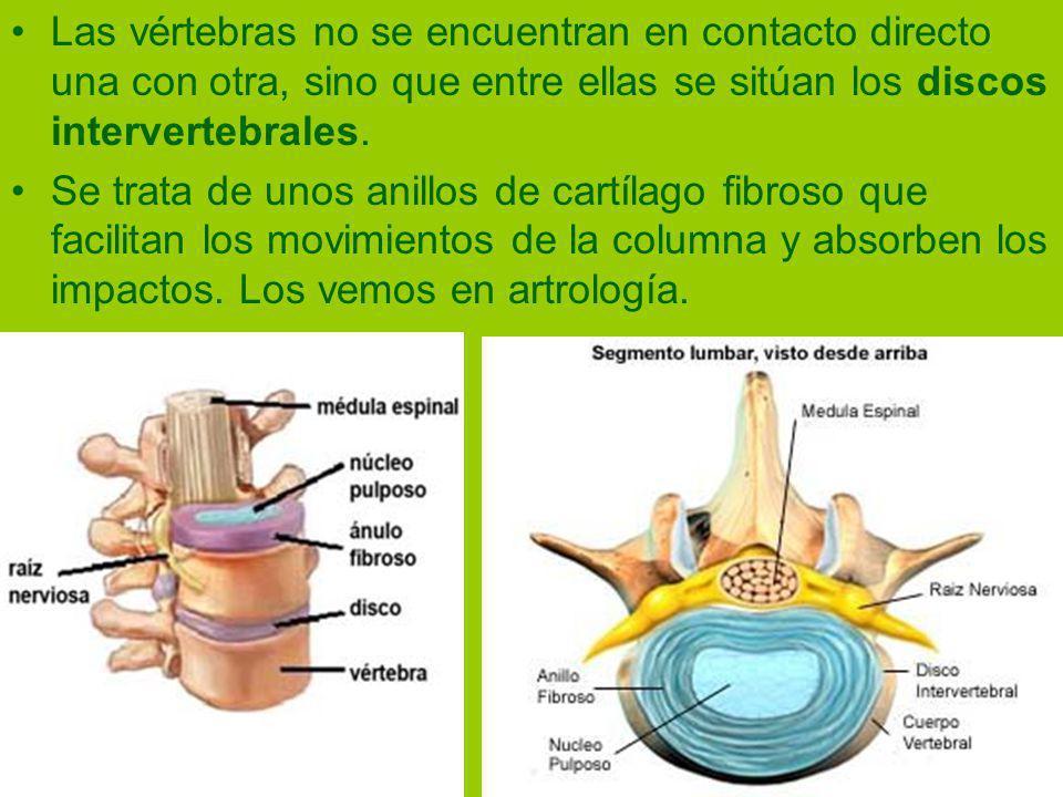Las vértebras no se encuentran en contacto directo una con otra, sino que entre ellas se sitúan los discos intervertebrales.