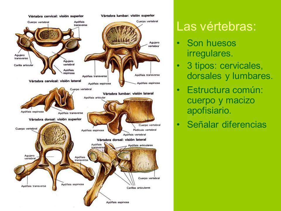 Las vértebras: Son huesos irregulares.3 tipos: cervicales, dorsales y lumbares.