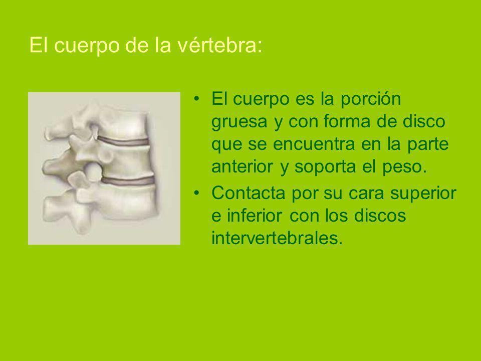 El cuerpo de la vértebra: El cuerpo es la porción gruesa y con forma de disco que se encuentra en la parte anterior y soporta el peso.