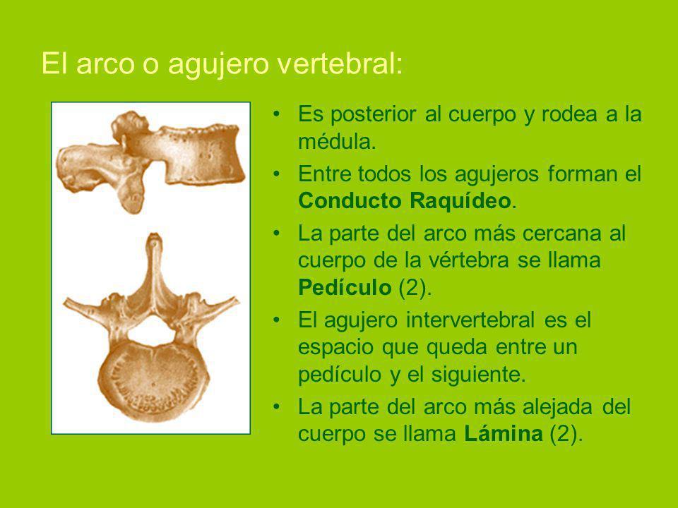 El arco o agujero vertebral: Es posterior al cuerpo y rodea a la médula.