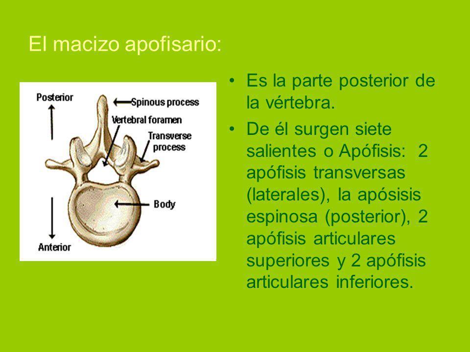 El macizo apofisario: Es la parte posterior de la vértebra.
