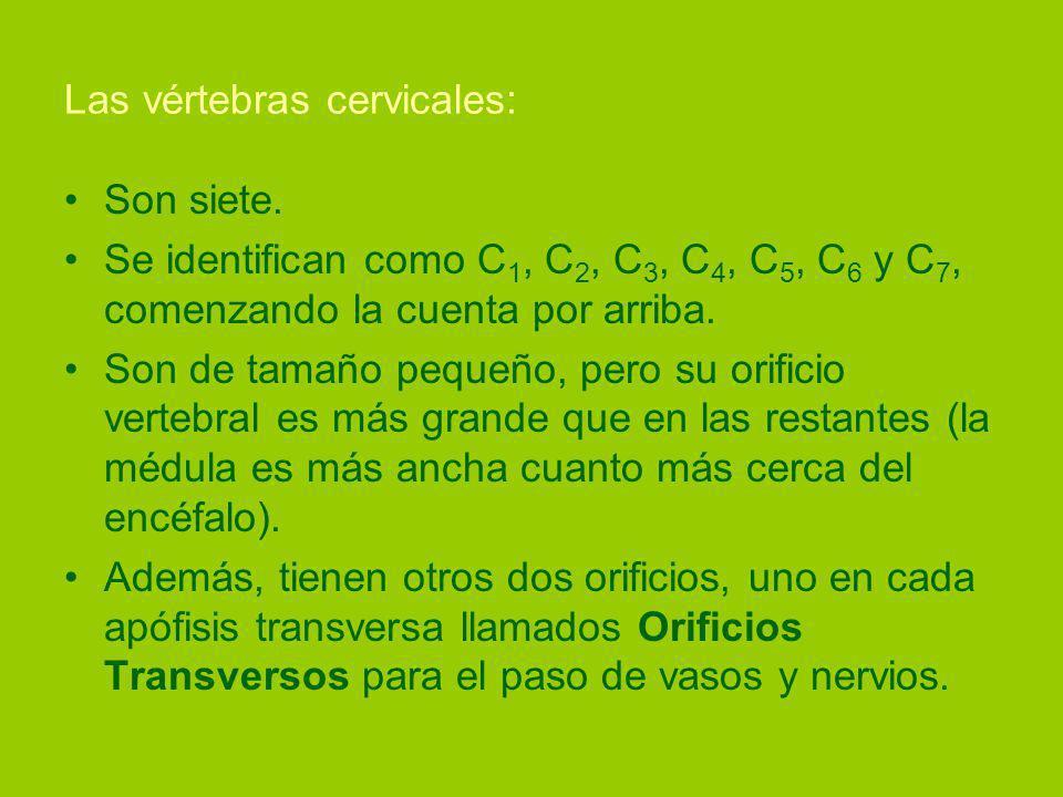 Las vértebras cervicales: Son siete.