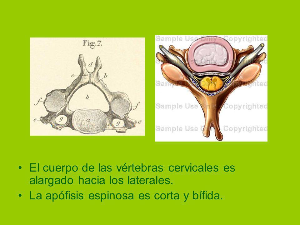 El cuerpo de las vértebras cervicales es alargado hacia los laterales.