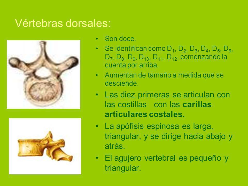 Vértebras dorsales: Son doce.