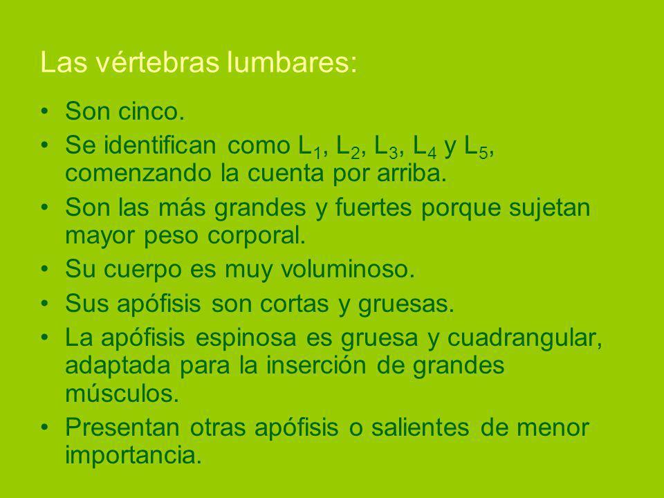 Las vértebras lumbares: Son cinco.