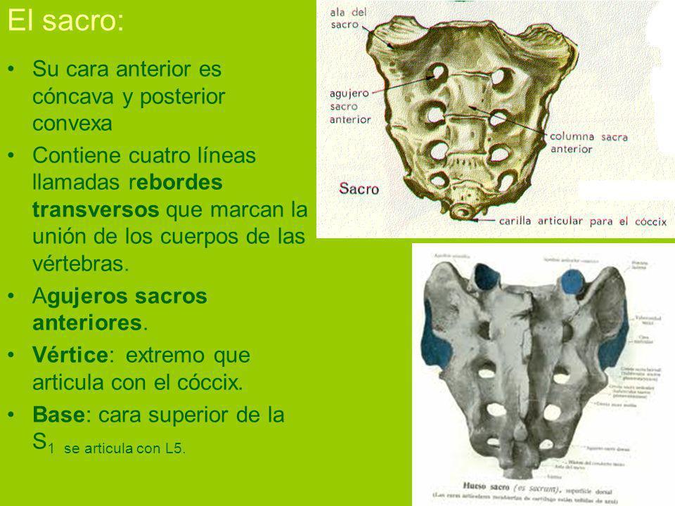 El sacro: Su cara anterior es cóncava y posterior convexa Contiene cuatro líneas llamadas rebordes transversos que marcan la unión de los cuerpos de las vértebras.