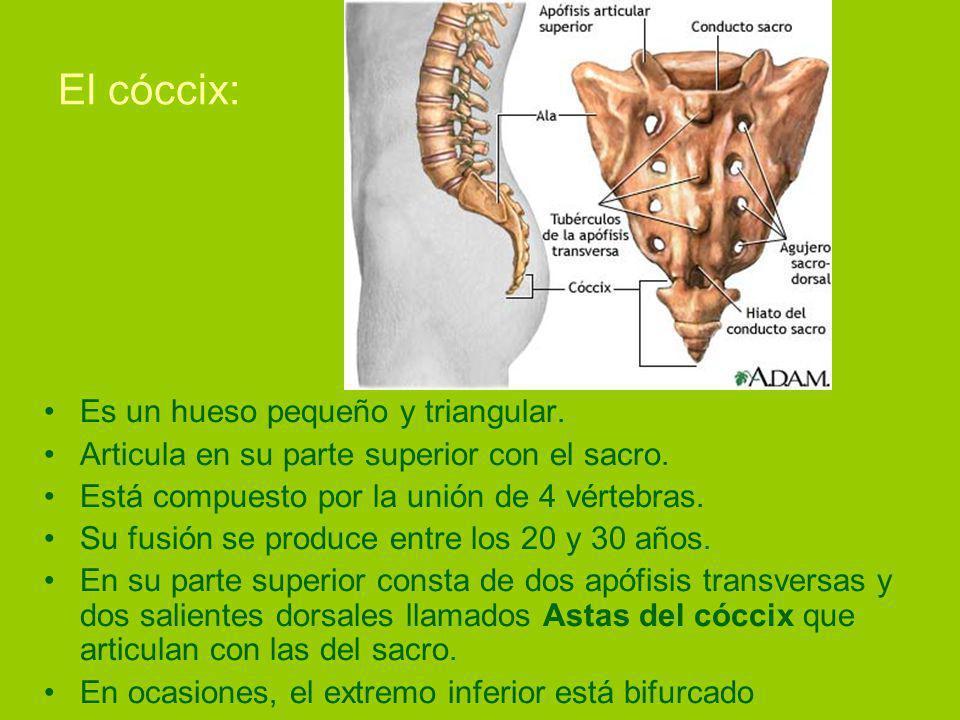 El cóccix: Es un hueso pequeño y triangular.Articula en su parte superior con el sacro.