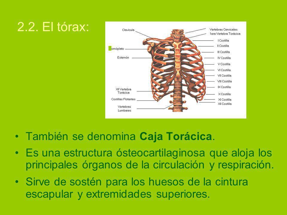 2.2.El tórax: También se denomina Caja Torácica.