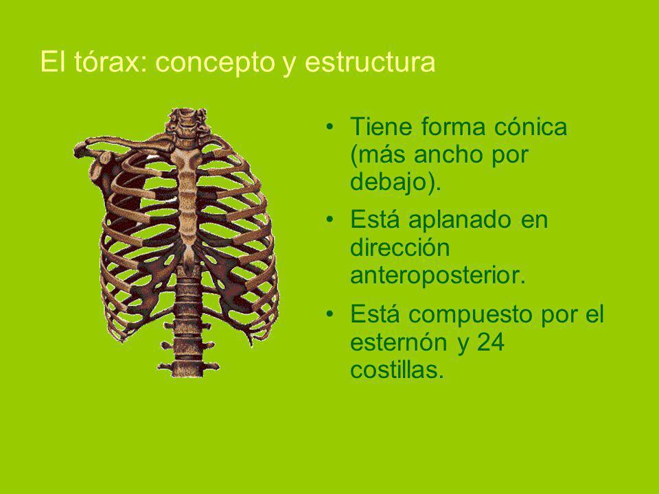 El tórax: concepto y estructura Tiene forma cónica (más ancho por debajo).