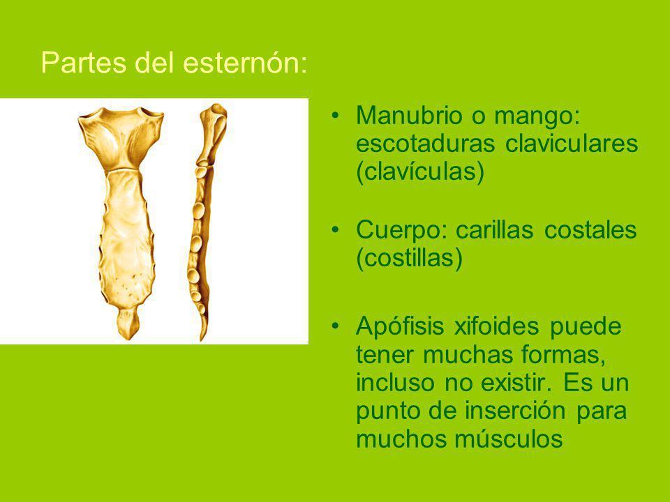 Partes del esternón: Manubrio o mango: escotaduras claviculares (clavículas) Cuerpo: carillas costales (costillas) Apófisis xifoides puede tener muchas formas, incluso no existir.