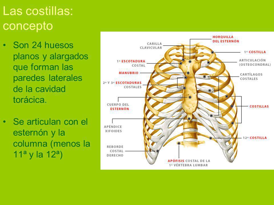 Las costillas: concepto Son 24 huesos planos y alargados que forman las paredes laterales de la cavidad torácica.
