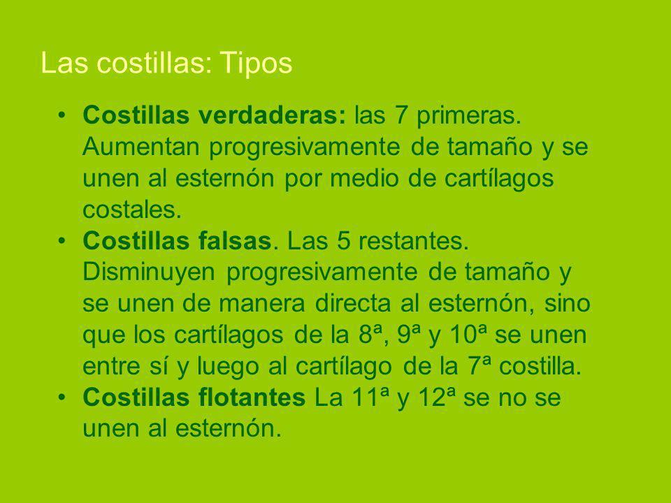 Las costillas: Tipos Costillas verdaderas: las 7 primeras.