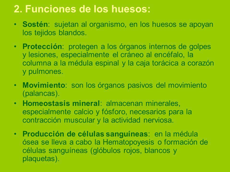 2. Funciones de los huesos: Sostén: sujetan al organismo, en los huesos se apoyan los tejidos blandos. Protección: protegen a los órganos internos de