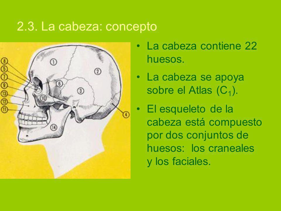 2.3.La cabeza: concepto La cabeza contiene 22 huesos.