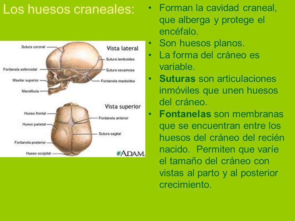 Los huesos craneales: Forman la cavidad craneal, que alberga y protege el encéfalo.