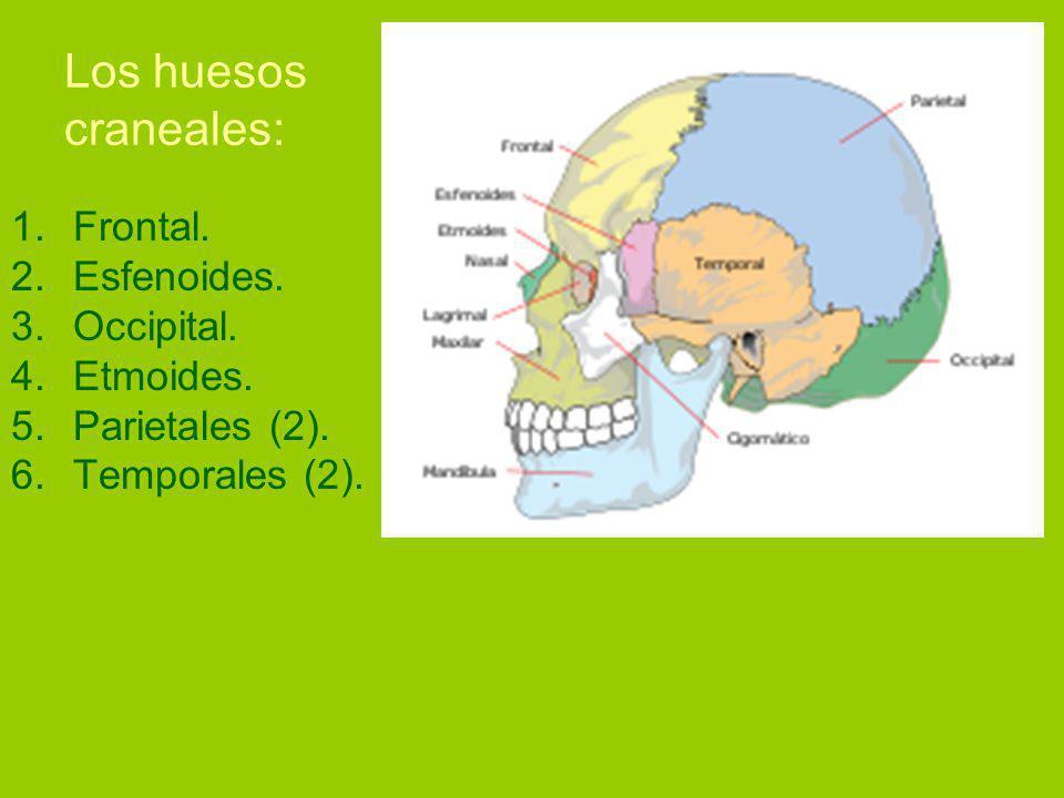 Los huesos craneales: 1.Frontal.2.Esfenoides. 3.Occipital.