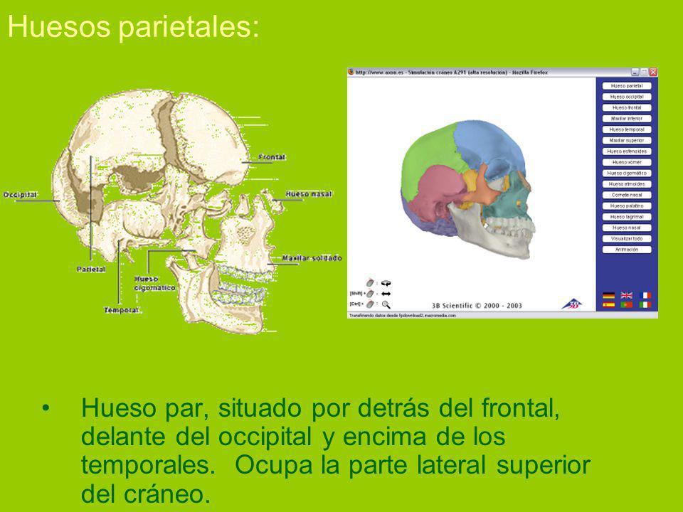 Huesos parietales: Hueso par, situado por detrás del frontal, delante del occipital y encima de los temporales.