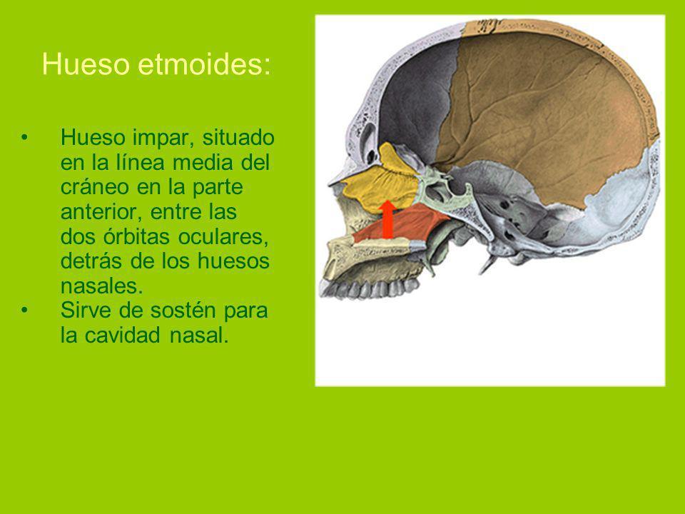 Hueso etmoides: Hueso impar, situado en la línea media del cráneo en la parte anterior, entre las dos órbitas oculares, detrás de los huesos nasales.