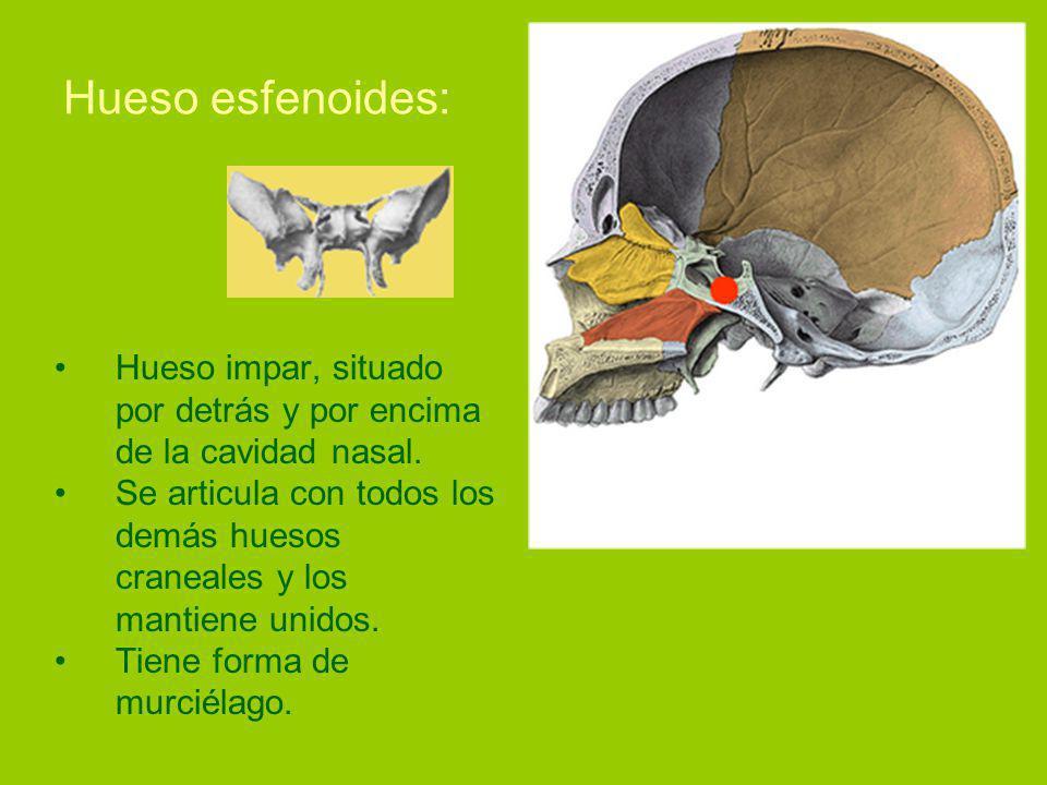 Hueso esfenoides: Hueso impar, situado por detrás y por encima de la cavidad nasal.