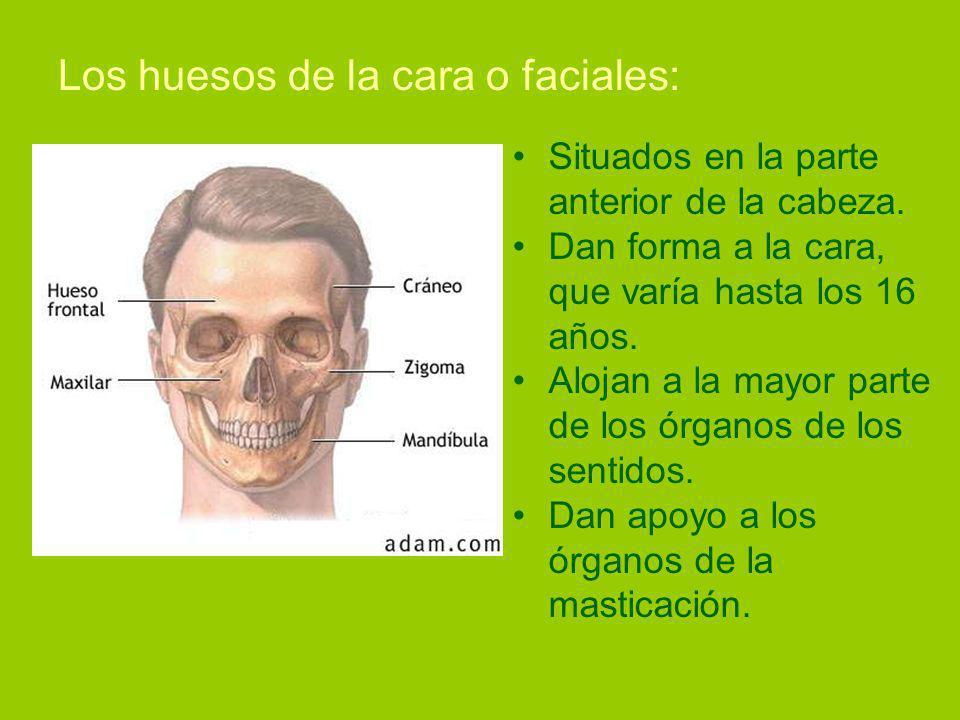 Los huesos de la cara o faciales: Situados en la parte anterior de la cabeza.