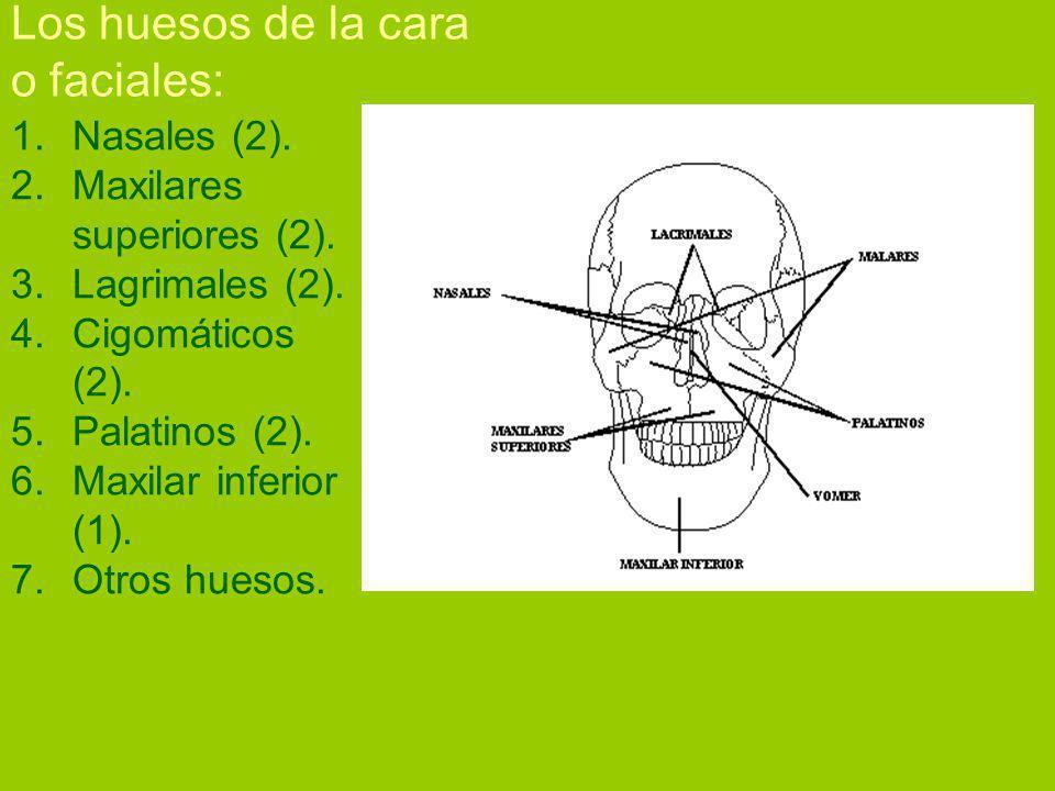 Los huesos de la cara o faciales: 1.Nasales (2).2.Maxilares superiores (2).