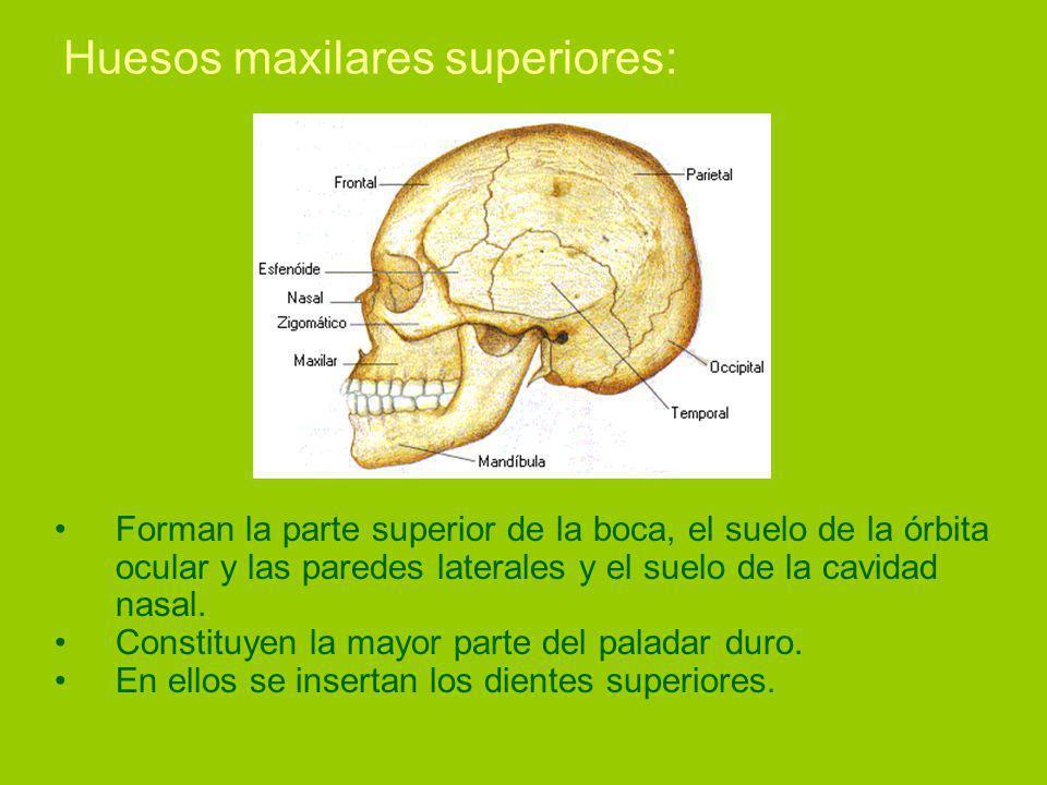Huesos maxilares superiores: Forman la parte superior de la boca, el suelo de la órbita ocular y las paredes laterales y el suelo de la cavidad nasal.