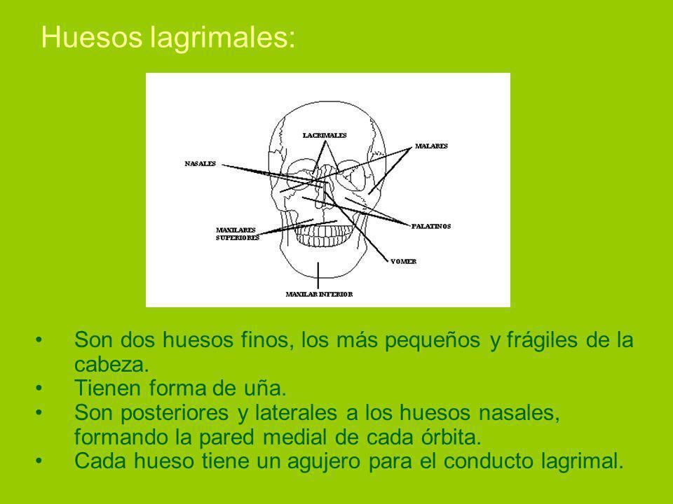 Huesos lagrimales: Son dos huesos finos, los más pequeños y frágiles de la cabeza.