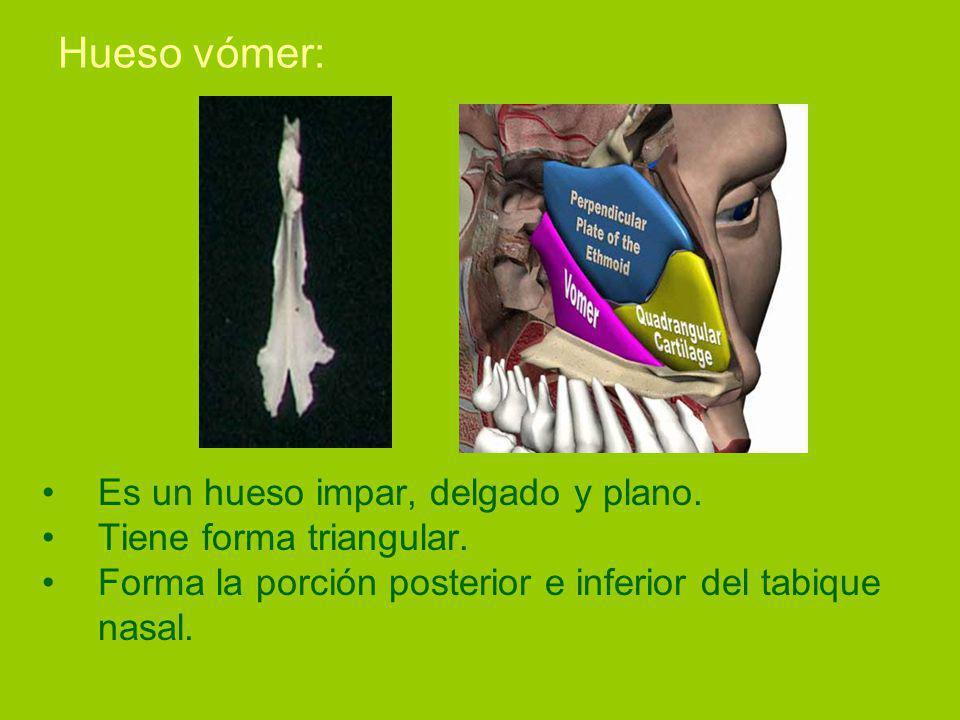 Hueso vómer: Es un hueso impar, delgado y plano.Tiene forma triangular.