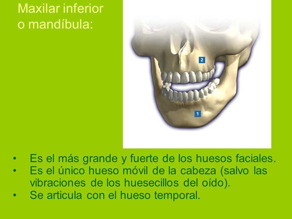 Maxilar inferior o mandíbula: Es el más grande y fuerte de los huesos faciales.
