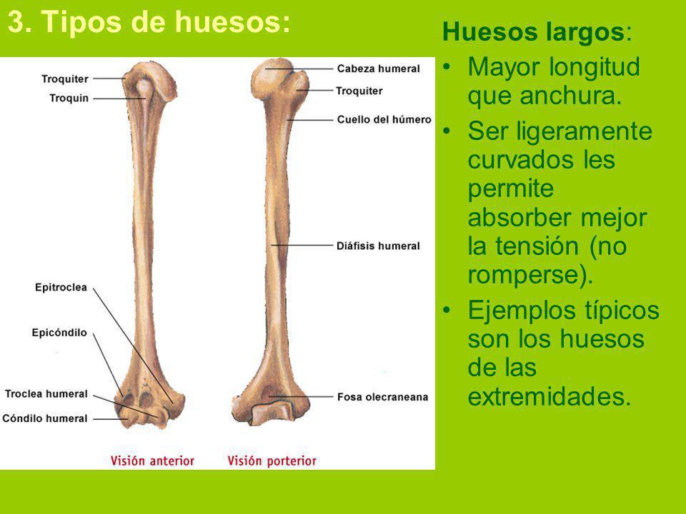 3.Tipos de huesos: Huesos largos: Mayor longitud que anchura.