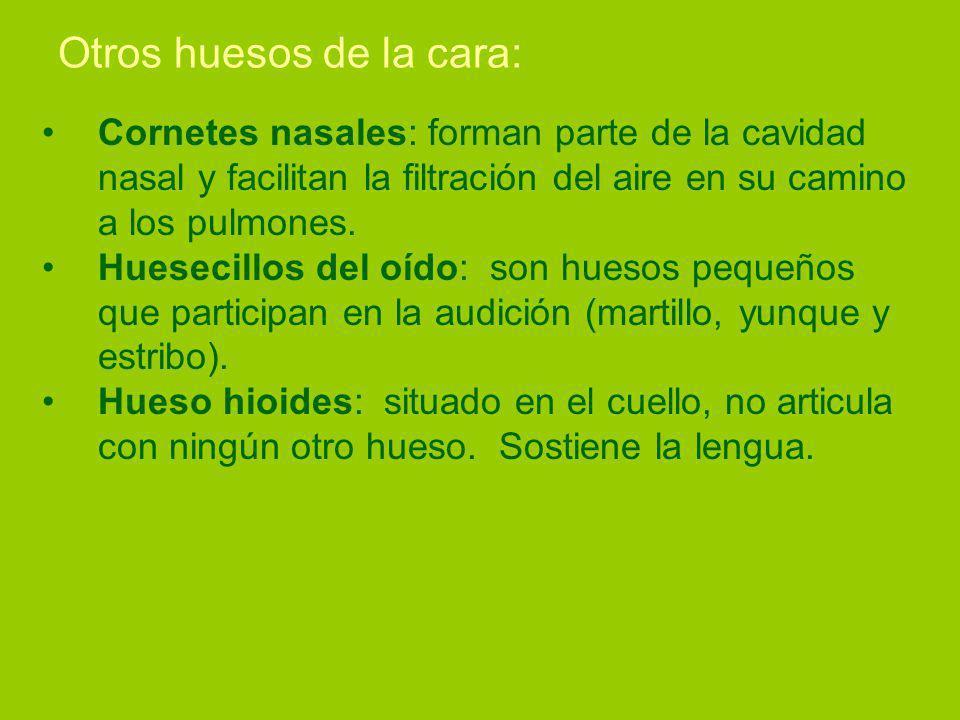 Otros huesos de la cara: Cornetes nasales: forman parte de la cavidad nasal y facilitan la filtración del aire en su camino a los pulmones.