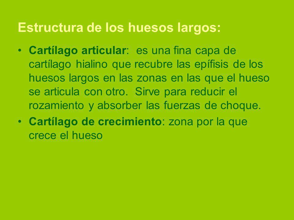 Estructura de los huesos largos: Cartílago articular: es una fina capa de cartílago hialino que recubre las epífisis de los huesos largos en las zonas en las que el hueso se articula con otro.