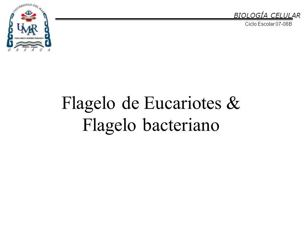 BIOLOGÍA CELULAR Ciclo Escolar 07-08B Flagelo de Eucariotes & Flagelo bacteriano