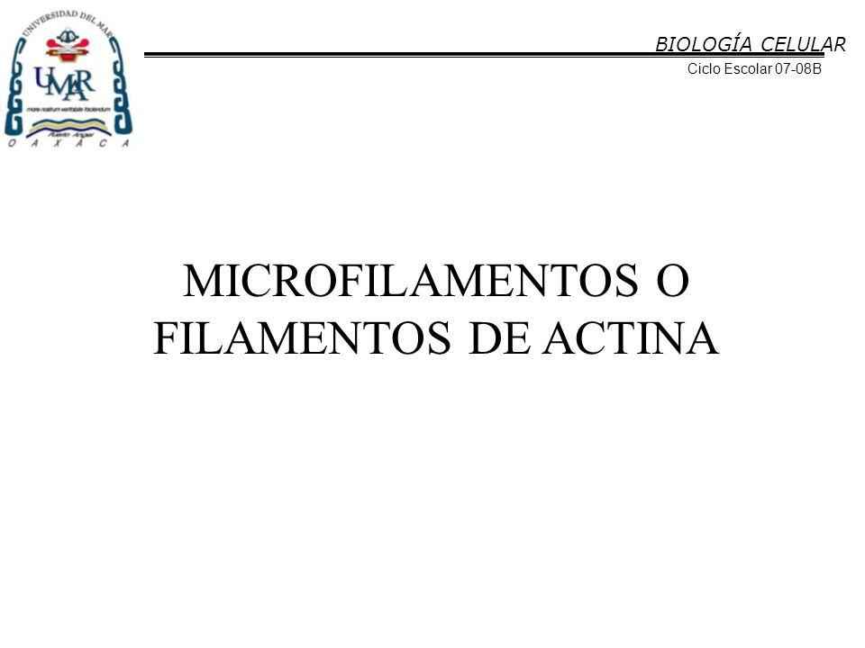 BIOLOGÍA CELULAR Ciclo Escolar 07-08B MICROFILAMENTOS O FILAMENTOS DE ACTINA