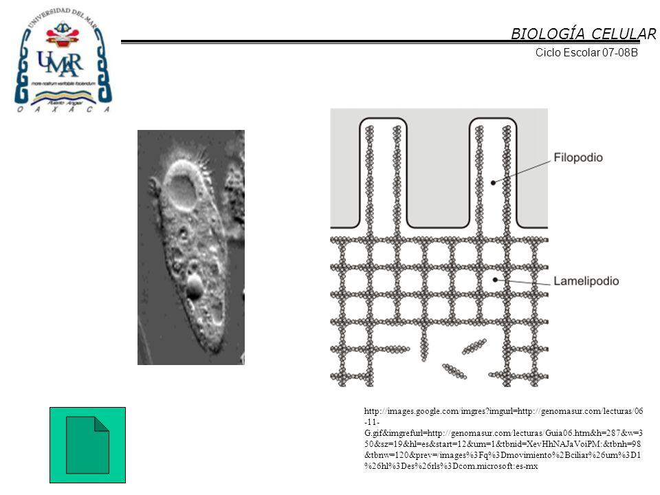 BIOLOGÍA CELULAR Ciclo Escolar 07-08B http://images.google.com/imgres?imgurl=http://genomasur.com/lecturas/06 -11- G.gif&imgrefurl=http://genomasur.co