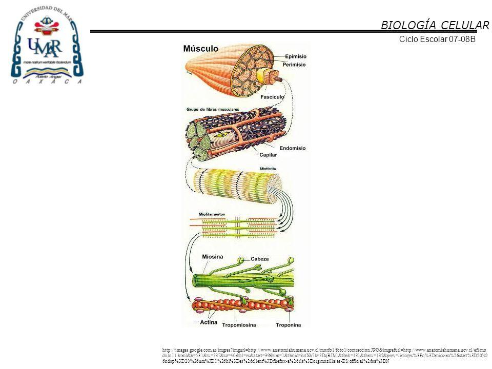 BIOLOGÍA CELULAR Ciclo Escolar 07-08B http://images.google.com.ar/imgres?imgurl=http://www.anatomiahumana.ucv.cl/morfo1/foto1/contraccion.JPG&imgrefur