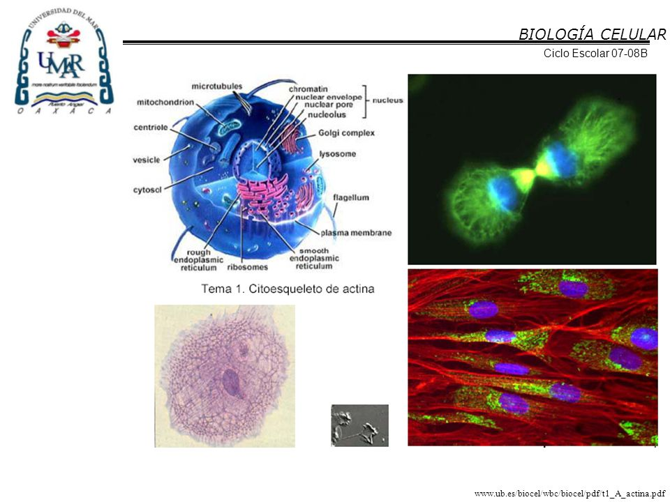 http://201.116.18.153/laciencia/biologia/lacelula/Imagenes/c37.jpg BIOLOGÍA CELULAR Ciclo Escolar 07-08B