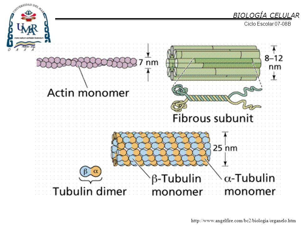 BIOLOGÍA CELULAR Ciclo Escolar 07-08B Filamentos de actina (microfilamentos) Formados por dos cadenas de subunidades globulares, actina G, enrolladas entre sí para formar una proteína filamentosa o actina F.