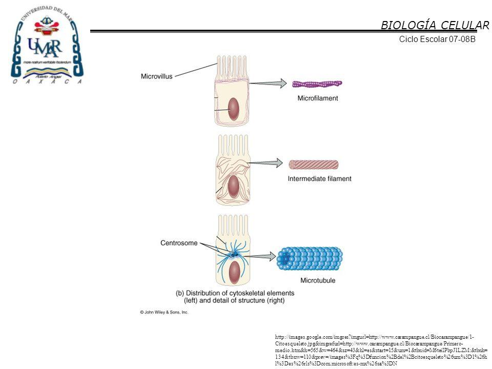 BIOLOGÍA CELULAR Ciclo Escolar 07-08B Su principal función es la de brindar sostén estructural a la célula, ya que su gran resistencia tensil es importante para proteger a las células contra las presiones y las tensiones.