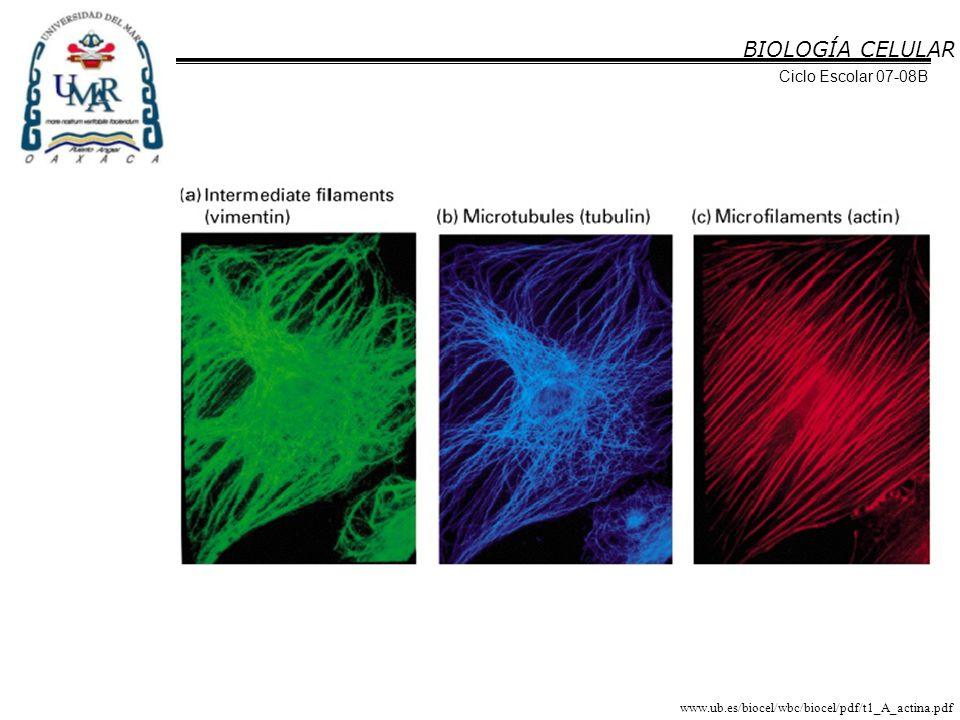 BIOLOGÍA CELULAR Ciclo Escolar 07-08B Los filamentos intermedios se clasifican de acuerdo a la proteína que los compone.