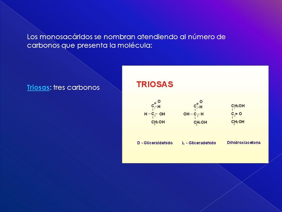 Los monosacáridos se nombran atendiendo al número de carbonos que presenta la molécula: Triosas Triosas : tres carbonos