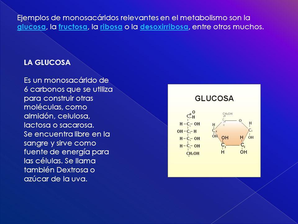 Ejemplos de monosacáridos relevantes en el metabolismo son la glucosa, la fructosa, la ribosa o la desoxirribosa, entre otros muchos.