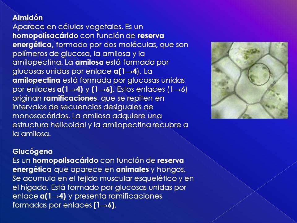 Almidón Aparece en células vegetales. Es un homopolísacárido con función de reserva energética, formado por dos moléculas, que son polímeros de glucos