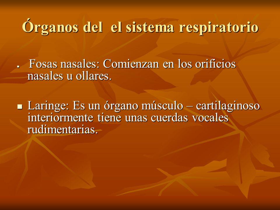 Órganos del el sistema respiratorio Fosas nasales: Comienzan en los orificios nasales u ollares. Fosas nasales: Comienzan en los orificios nasales u o