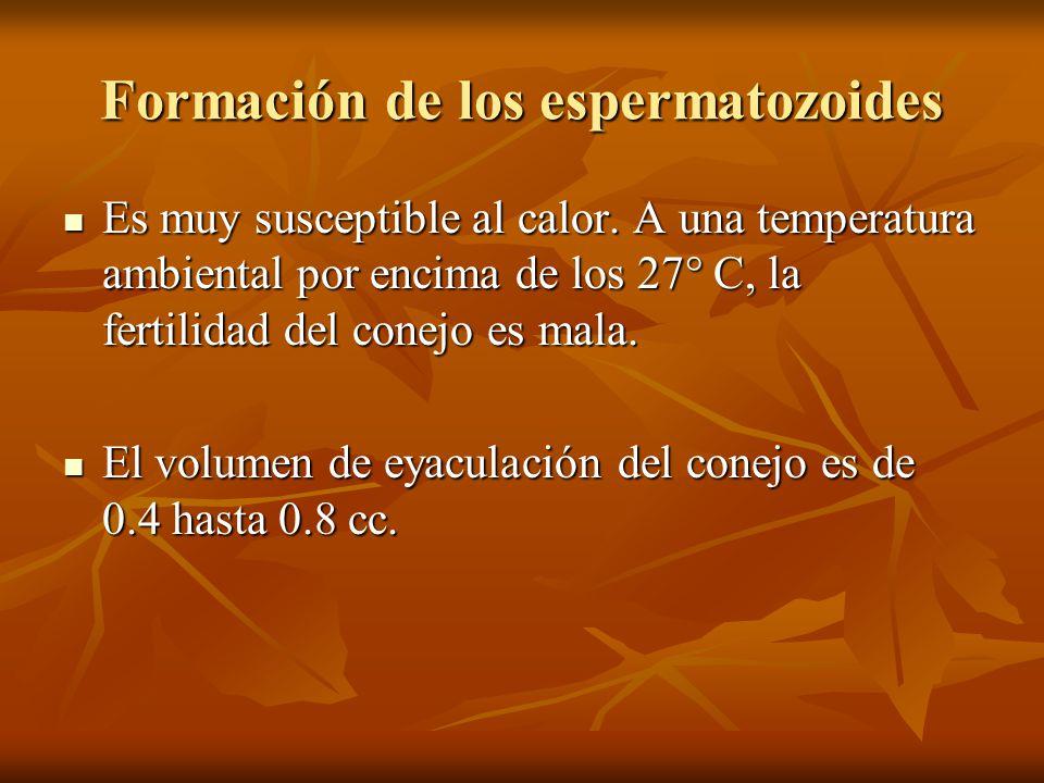 Formación de los espermatozoides Es muy susceptible al calor. A una temperatura ambiental por encima de los 27° C, la fertilidad del conejo es mala. E