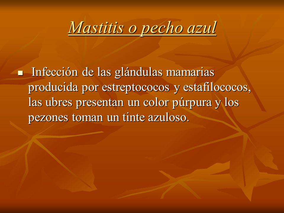 Mastitis o pecho azul Infección de las glándulas mamarias producida por estreptococos y estafilococos, las ubres presentan un color púrpura y los pezo